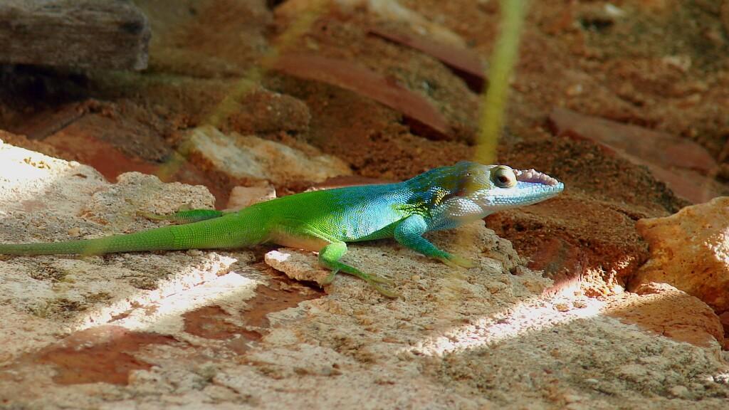 kameleon kubański potrafi zmieniać kolory