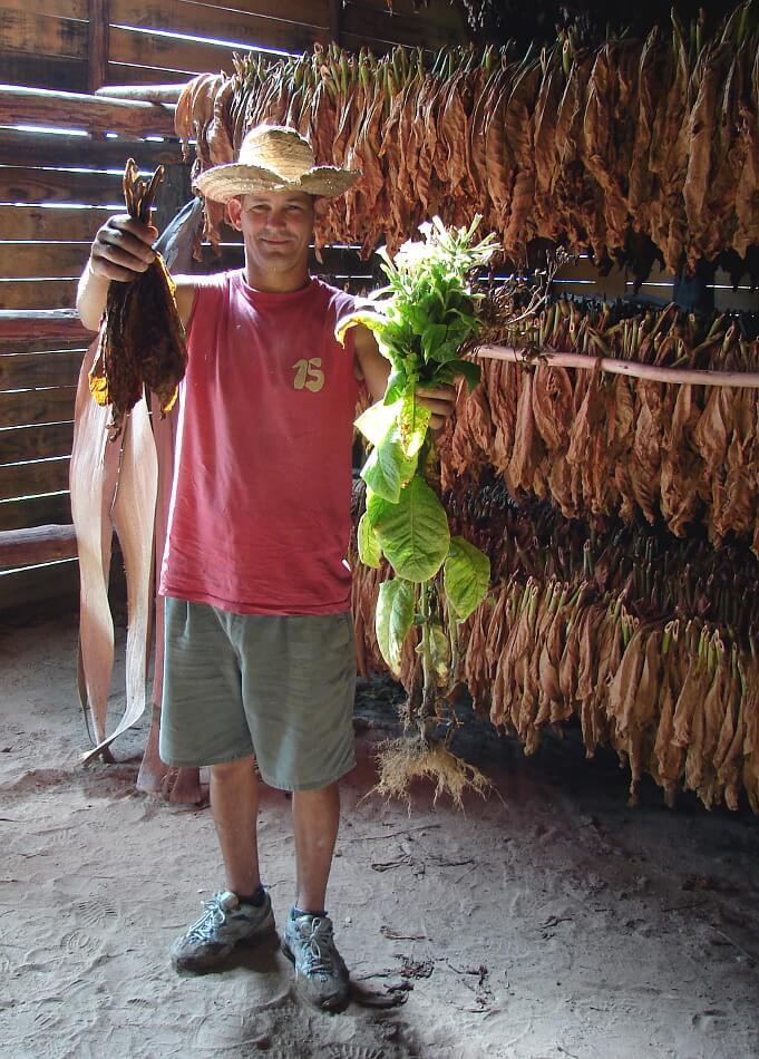 Kubańczyć prezentujący suszone liście tytoniu