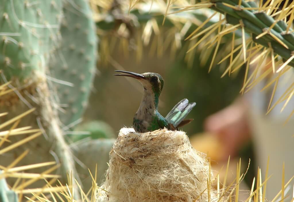 Koliber na gnieździe