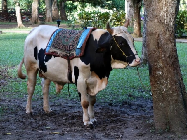 Osiodłana krowa