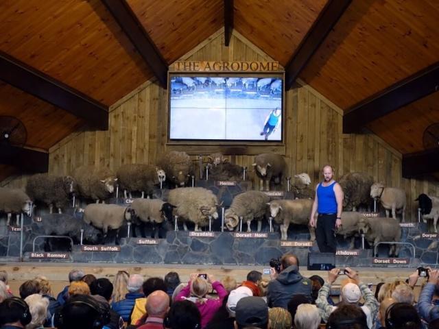 wystawa owiec