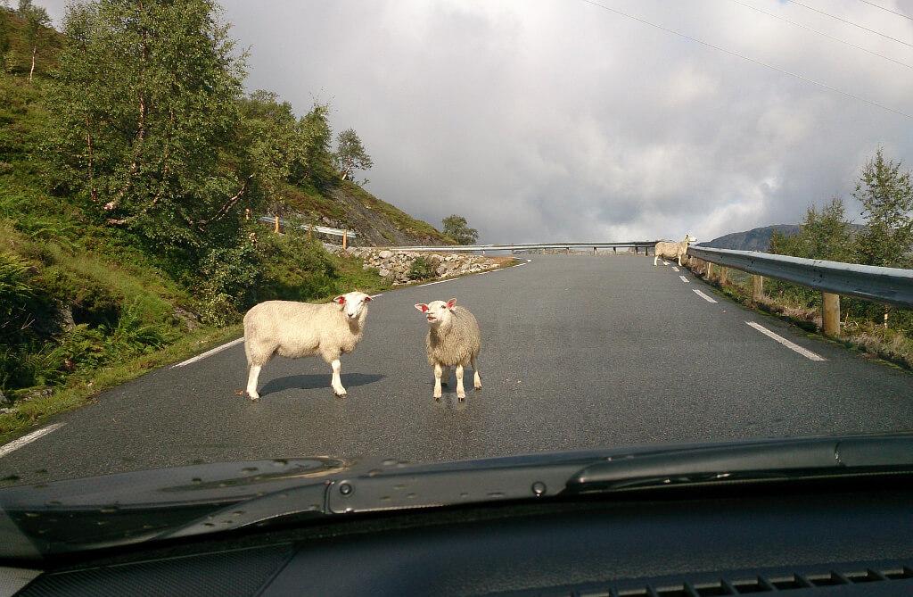 Owce na drodze