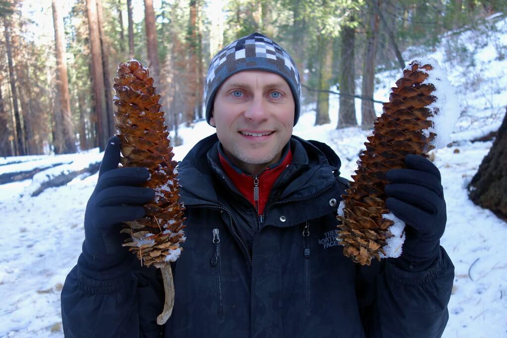 Gigantyczne szyszki sosny cukrowej w Kalifornii