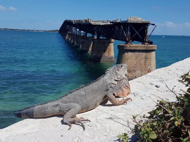 legwan na Key West na Florydzie