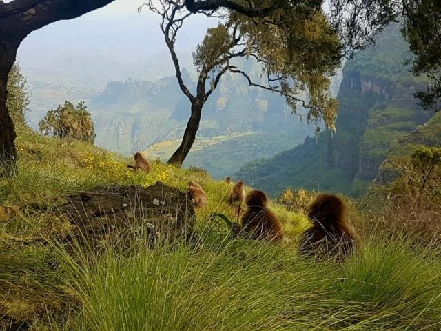 widok na małpy dżelady i góry Semien