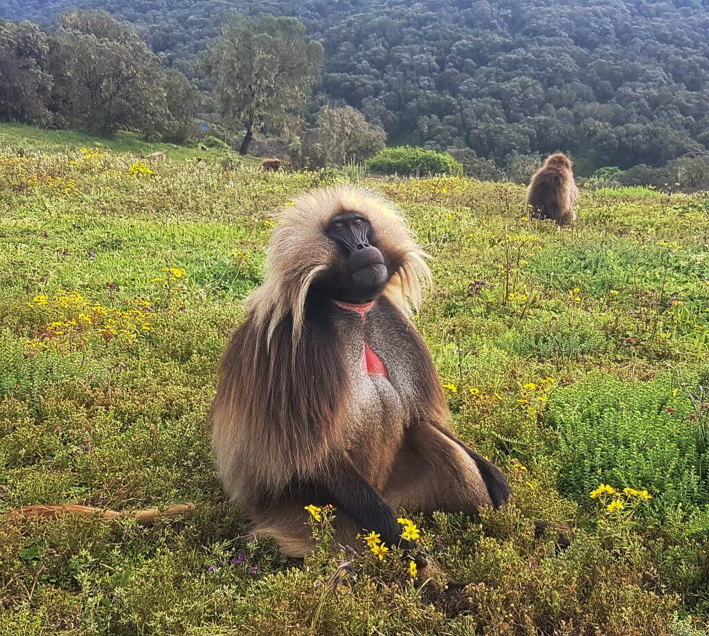 Portret małpy dżelada z widocznym na piersi charakterystycznym miejscem w kształcie odwróconego serca, w kolorze czerwonym