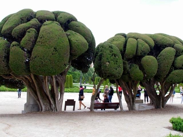 Madryt - fantazyjnie przycięte parkowe drzewa