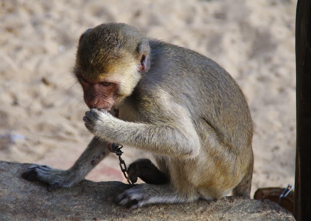 Przykuta do łańcucha małpka