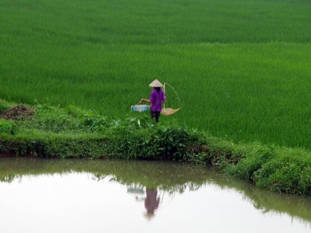 Wietnam, pole ryżowe