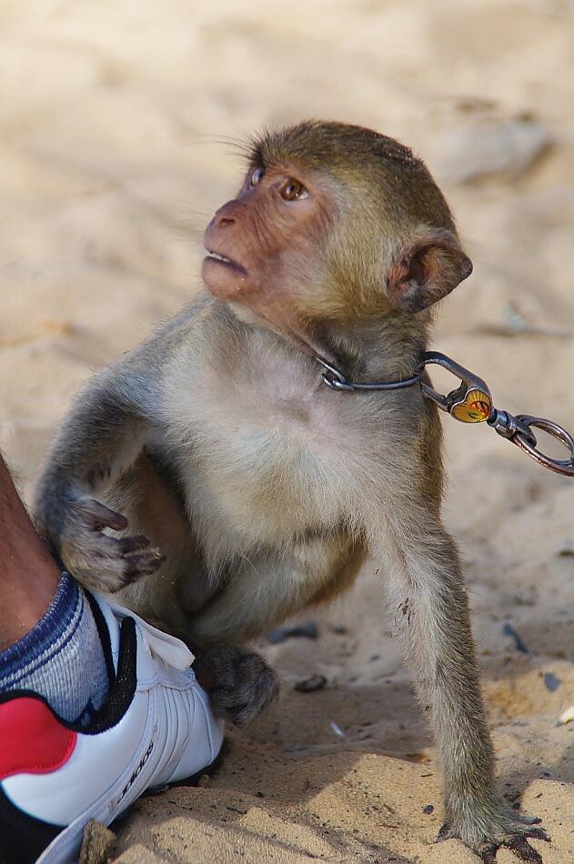 Małpka na łańcuch patrząca na człowieka
