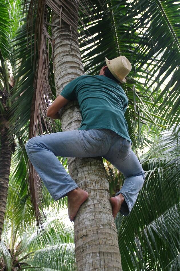 Mężczyzna wspinający się na palmę