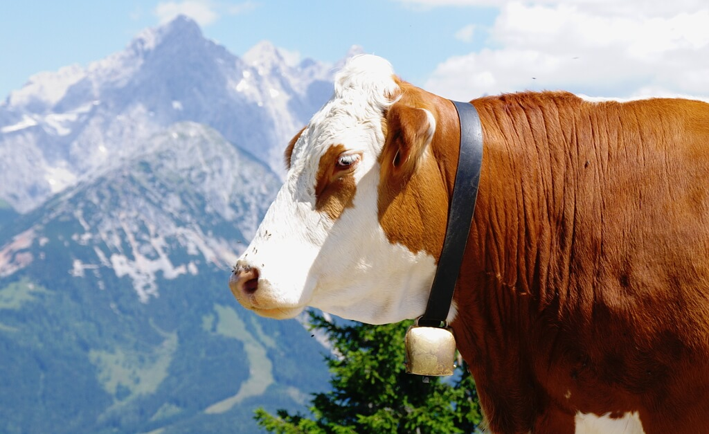 Alpejska krowa