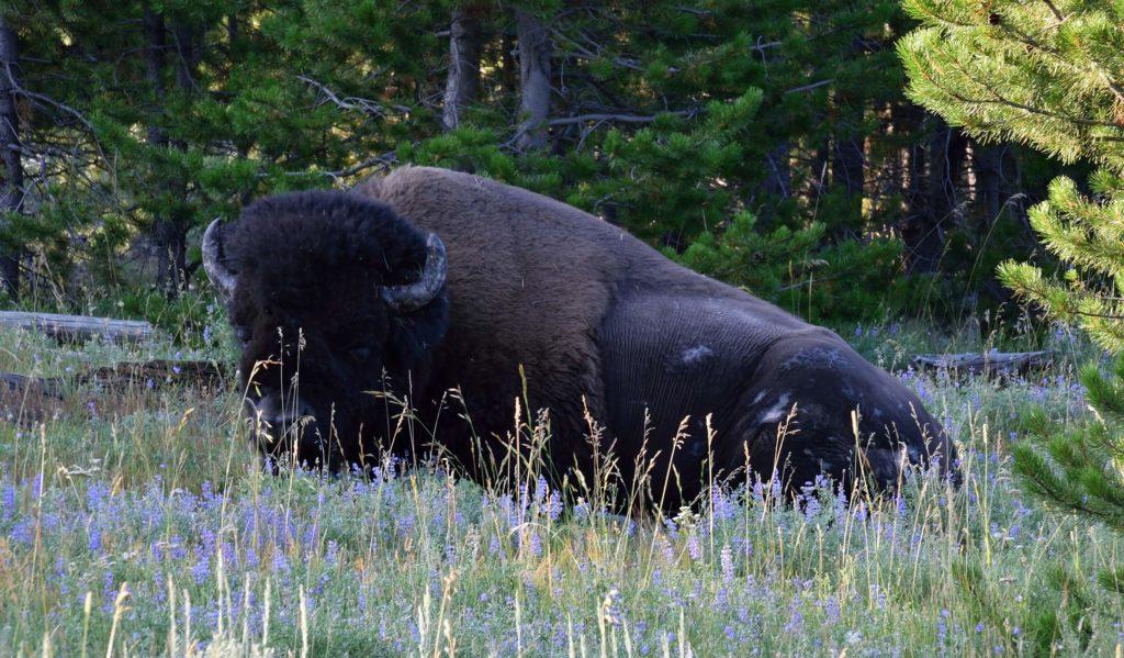 Śpiący bizon