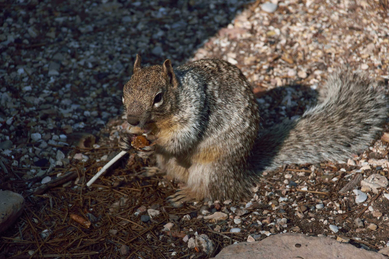 Wiewiórka liże lizaka